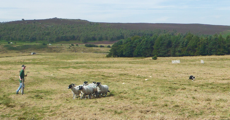 Longshaw Sheep Dog Trials - the longest continuously-running trials in the country, apparently.  Haydn Williams 2012