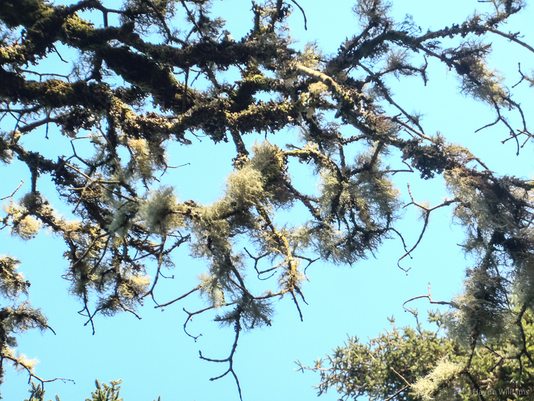 I'm lichen this tree. ©Haydn Williams 2014