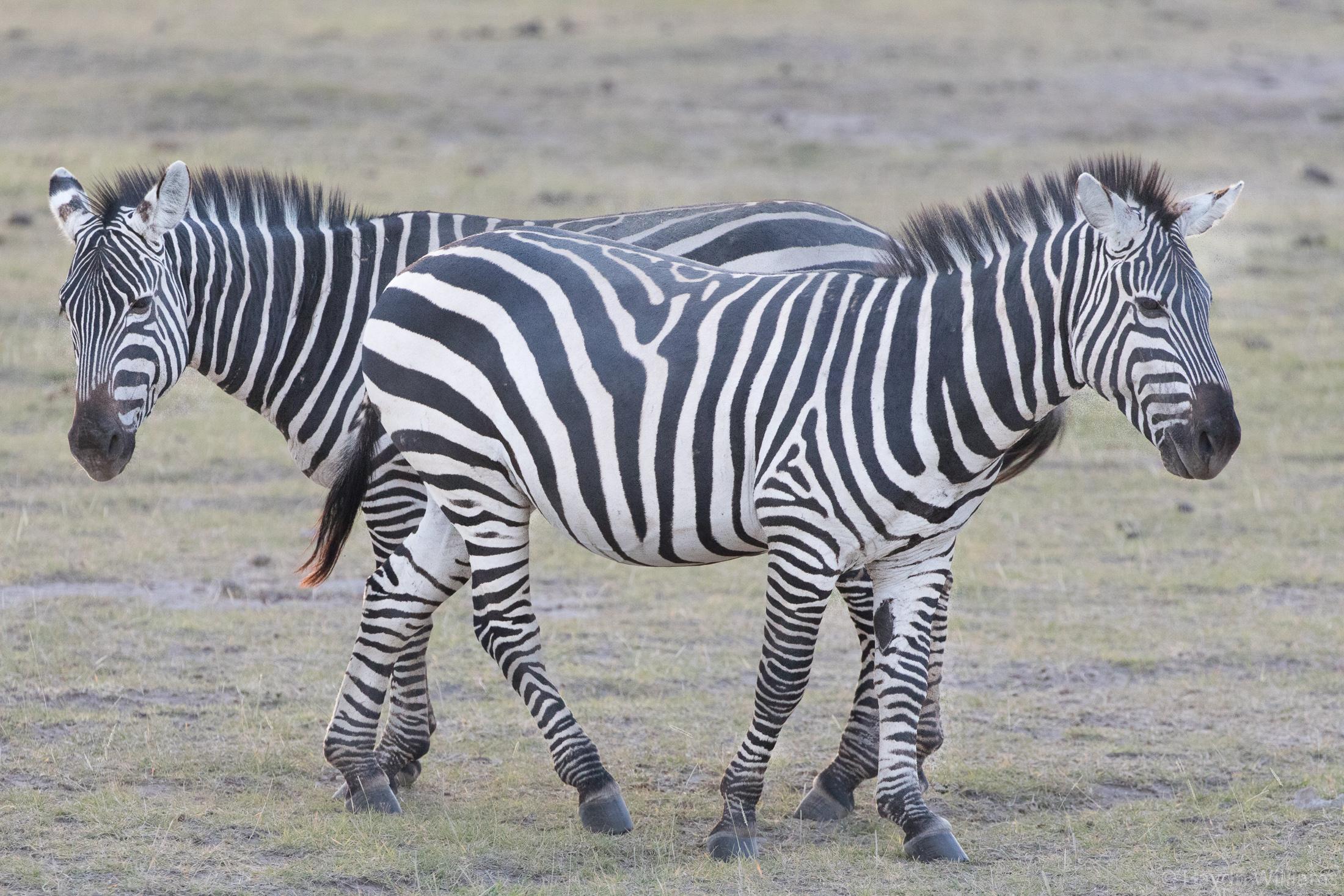 Two zebra. © Haydn Williams 2019