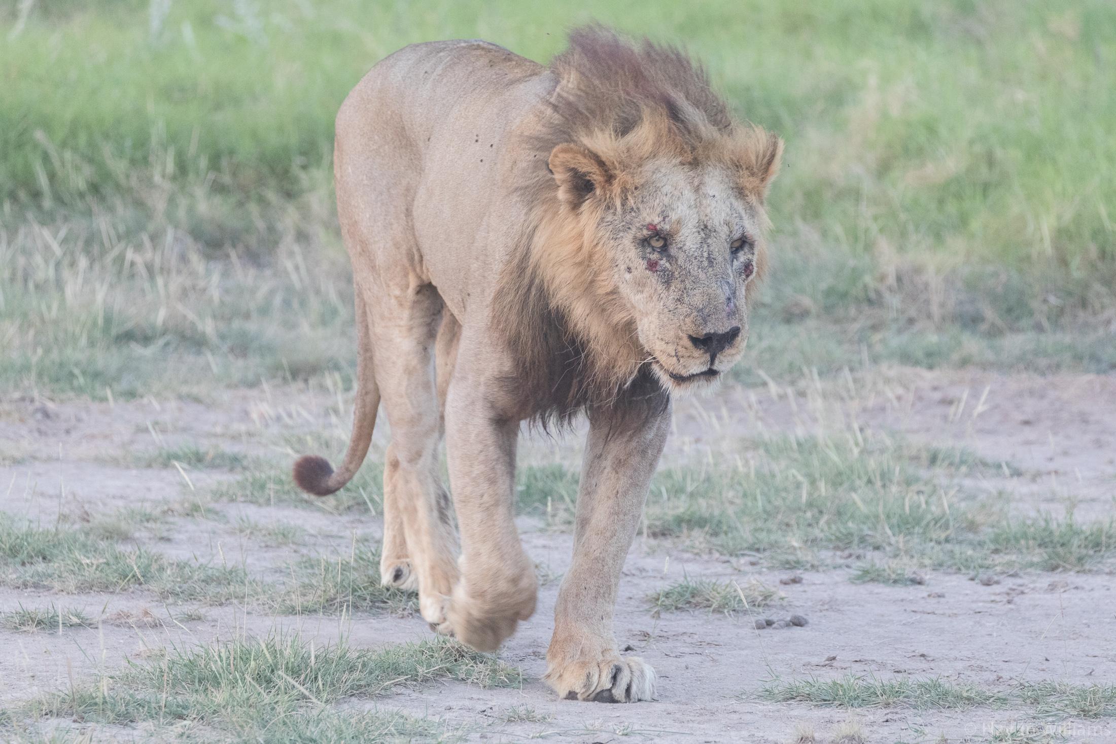 Adult male lion. ©Haydn Williams 2019