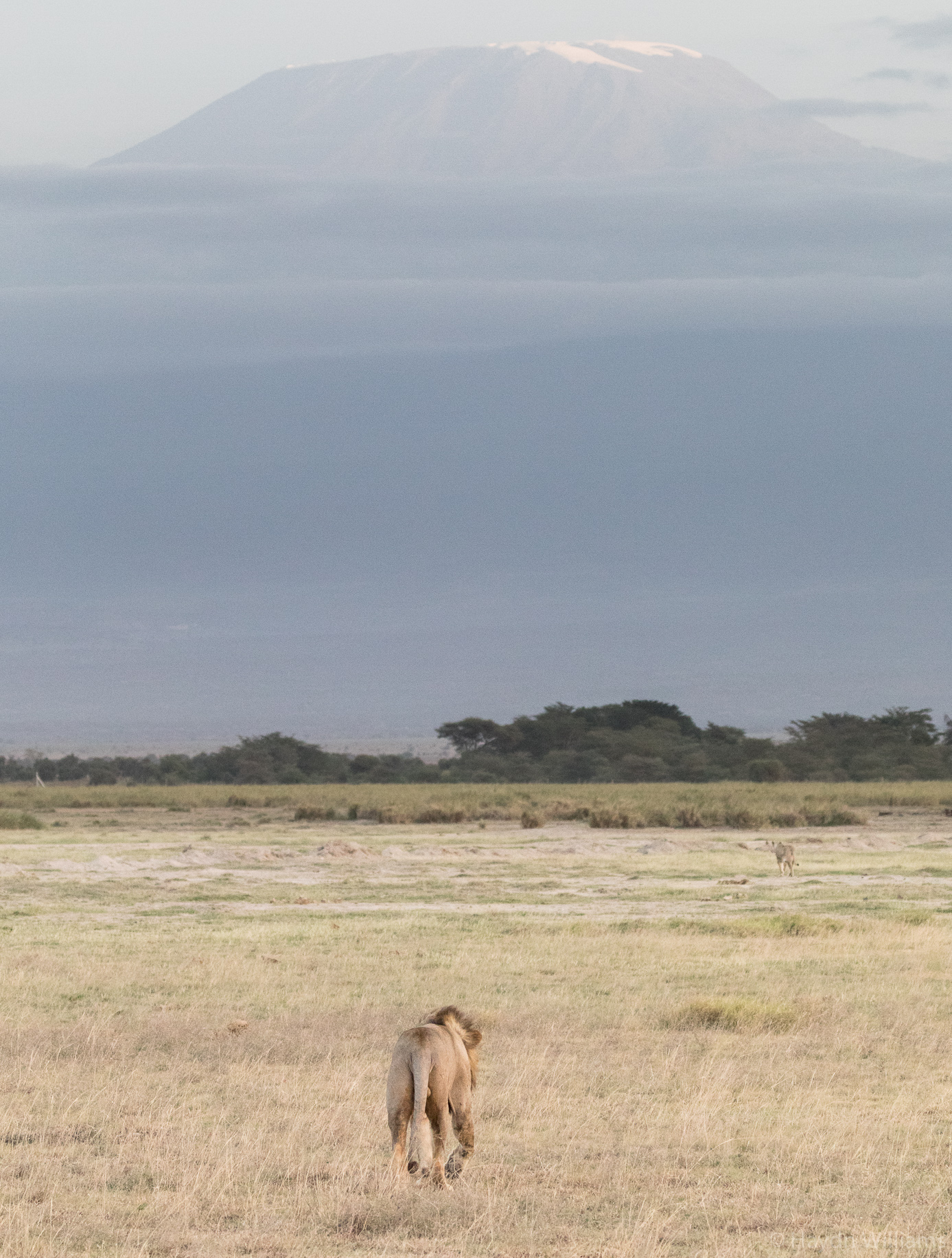 Adult male lion in front of Kili. © Haydn Williams 2019