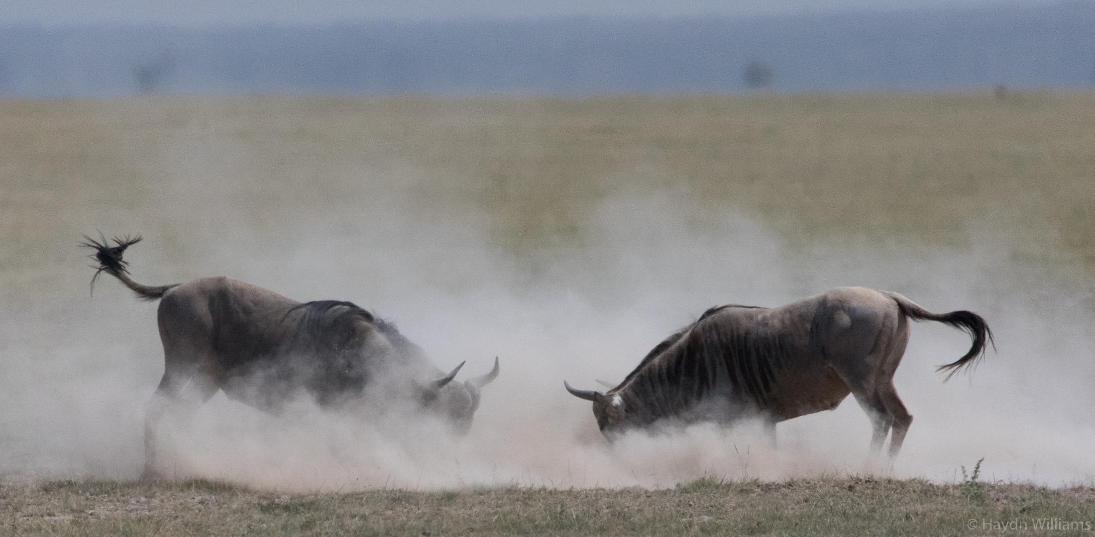 Wildebeest. ©Haydn Williams 2019