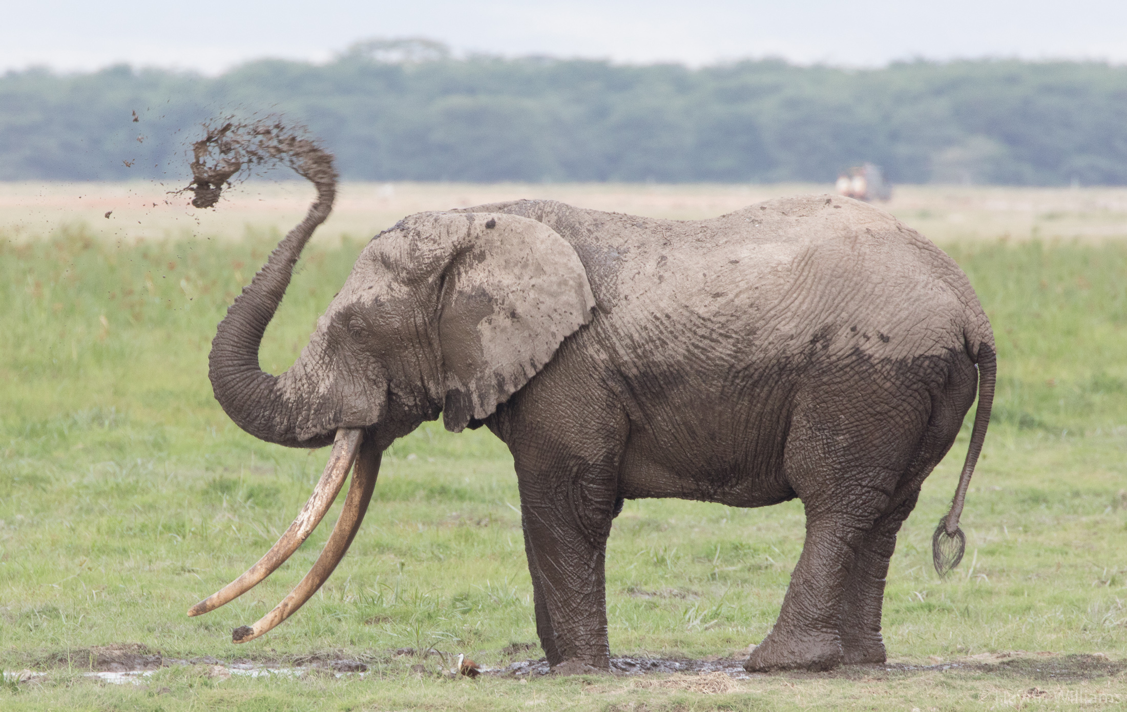 Elephant cooling down with swamp mud. © Haydn Williams 2019