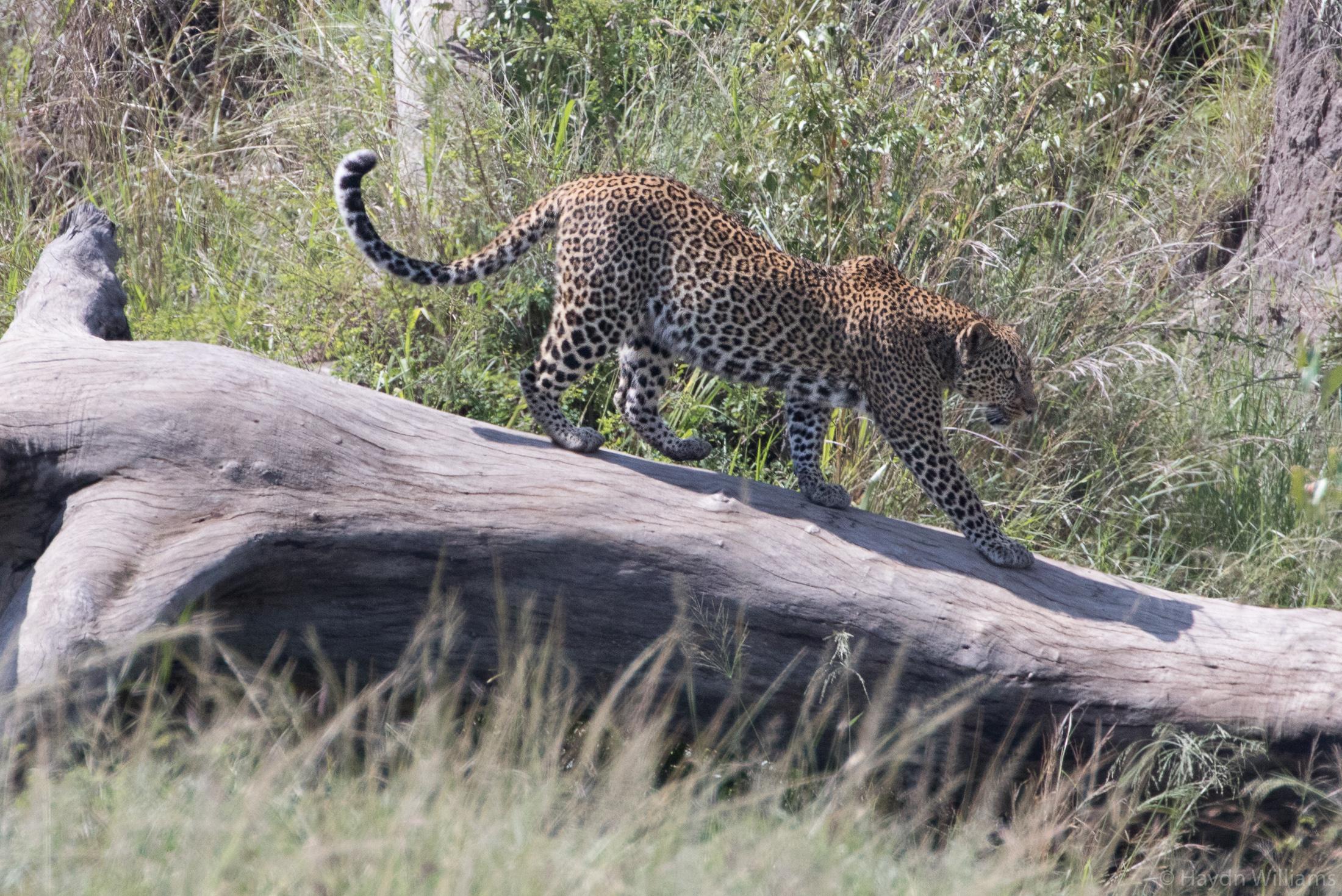 Panthera pardus (leopard). © Haydn Williams 2019