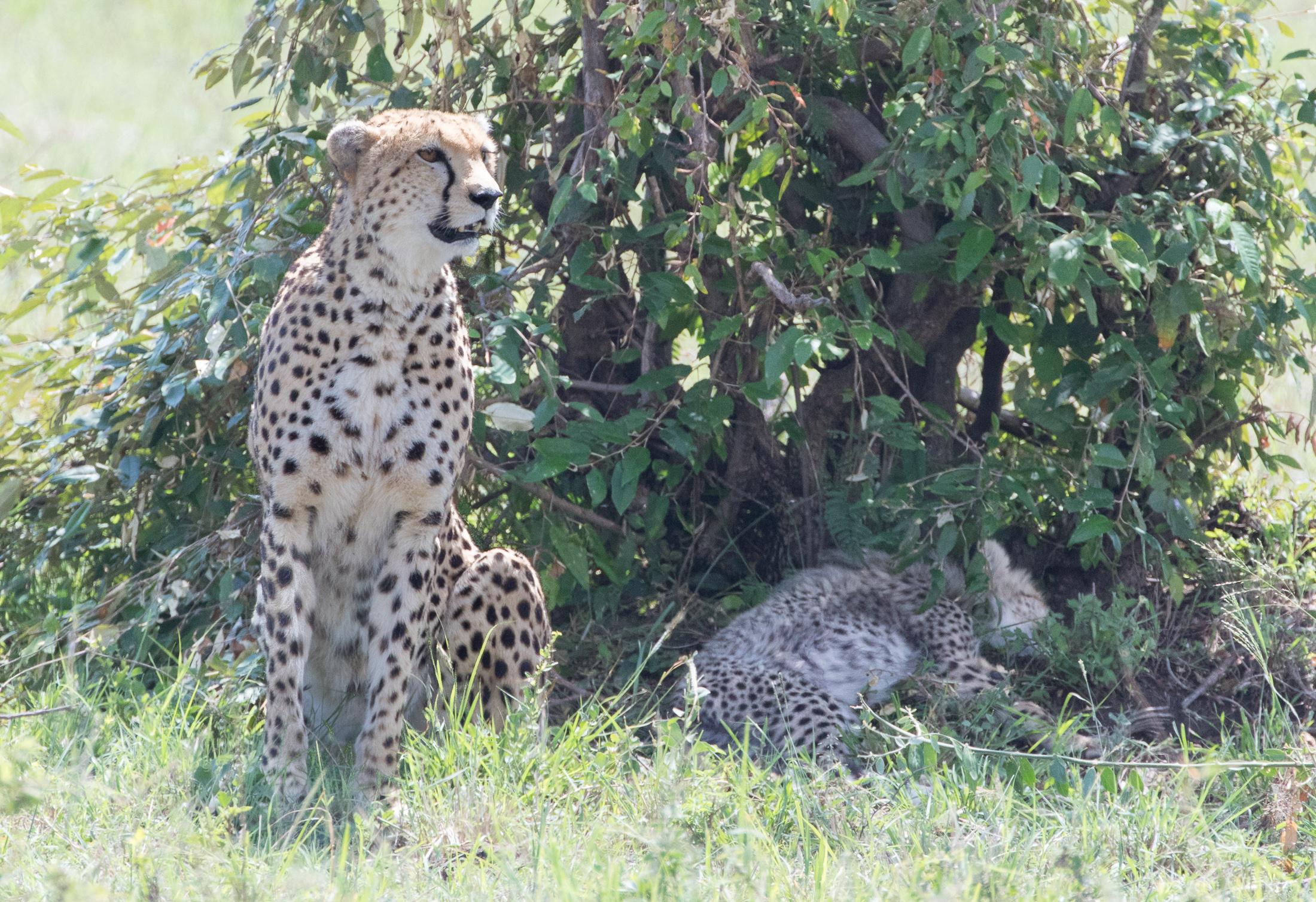 Female cheetah and cub. © Haydn Williams 2019