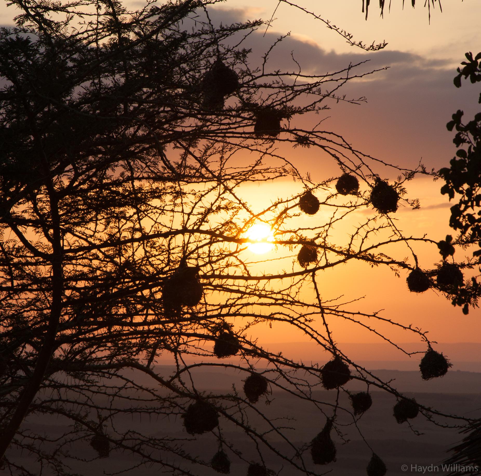 Weaver bird nests in a single tree. © Haydn Williams 2019